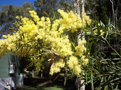 0749740f6c377 Native Australian Plants – Trees - Ezyplant