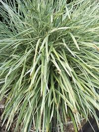 Non Native Exotic Plants Grassestufting Plants Ezyplant